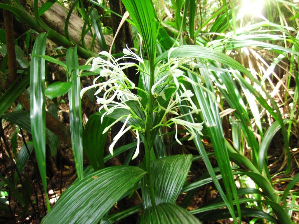 固有の地性ラン チクセツランの花