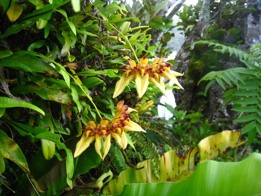 オガサワラシコランの開花