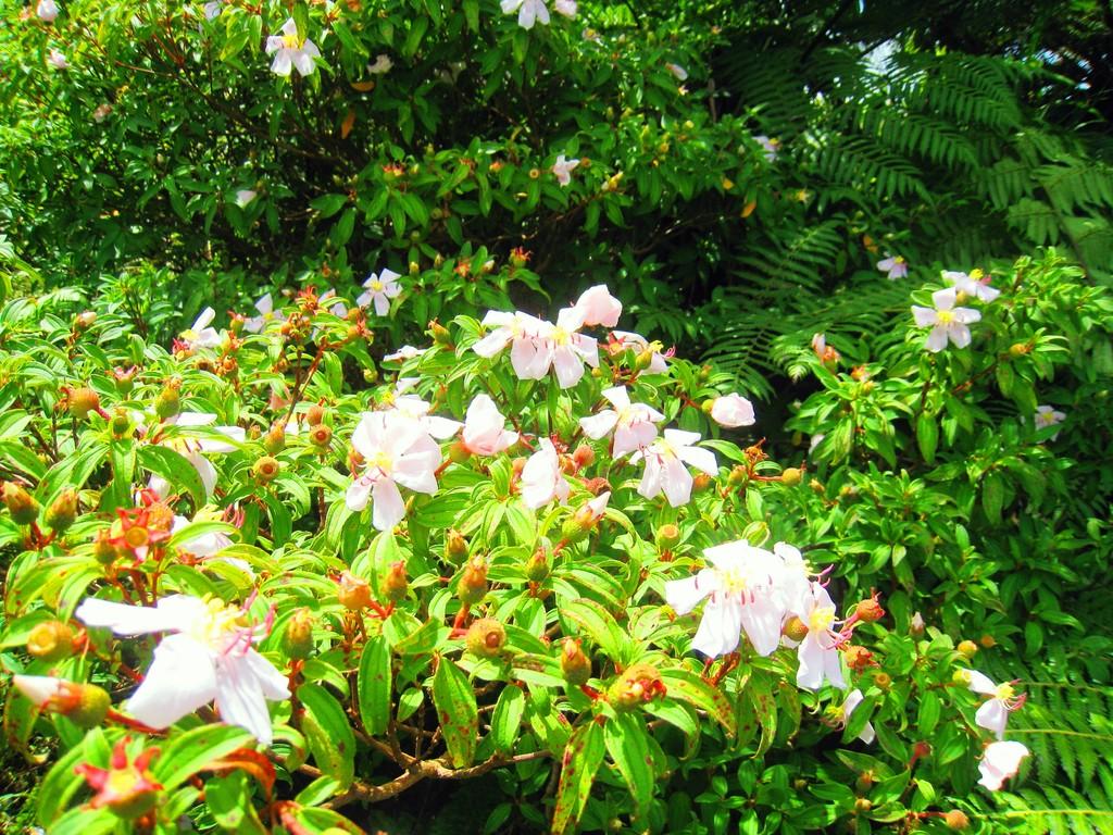 ハハジマノボタンの開花