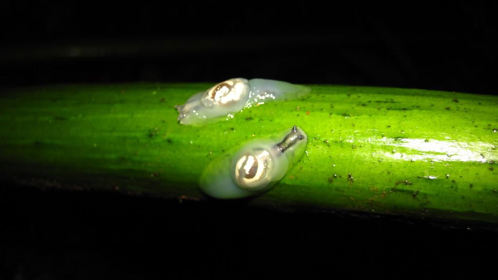 固有の樹上性カタツムリ、オガサワラオカモノアラガイ