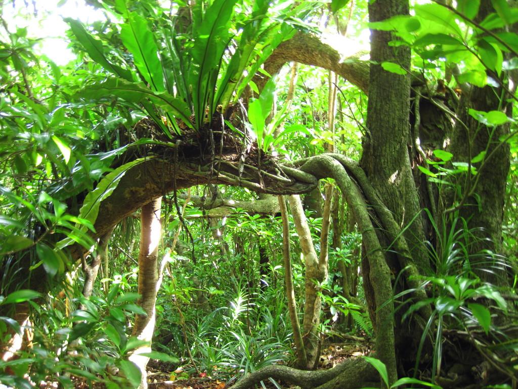 固有種イチビに着生したシマオオタニワタリ