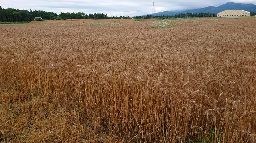 小麦の収穫が始まりました!