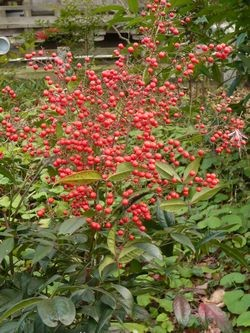 徳善寺の南天 葉が少なく赤い実が沢山ついています