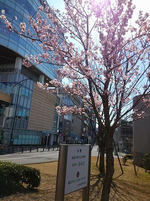 湘南台駅前の春めき桜