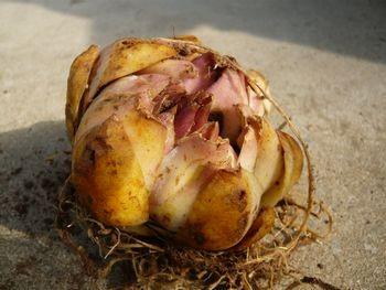 カサブランカの球根
