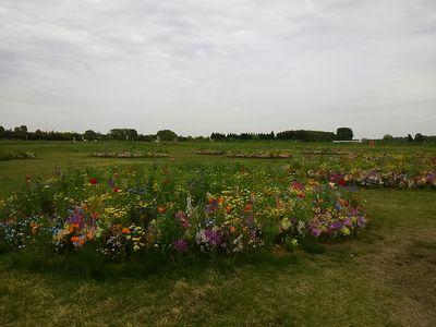 ワイルドフラワーの花畑