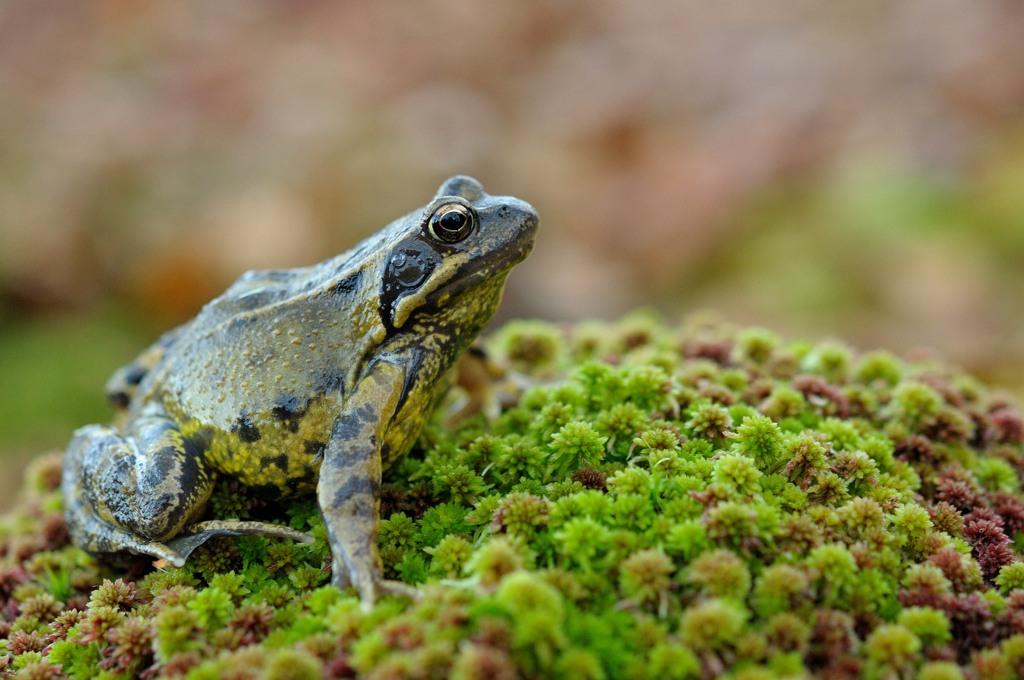 Grenouille rousse (Rana temporaria) - Frédéric Pinto