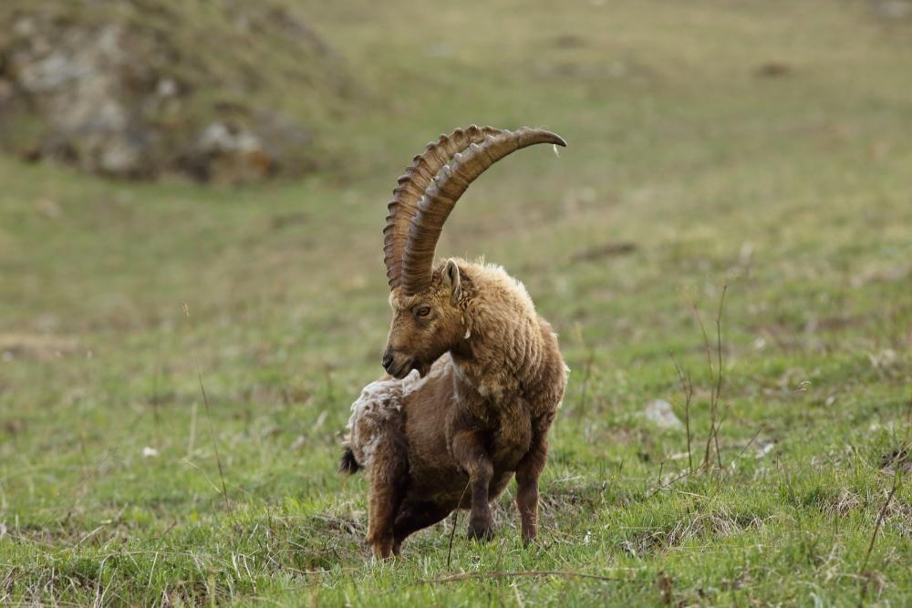Bouquetin (Capra ibex) - Photo Jullien Ludovic