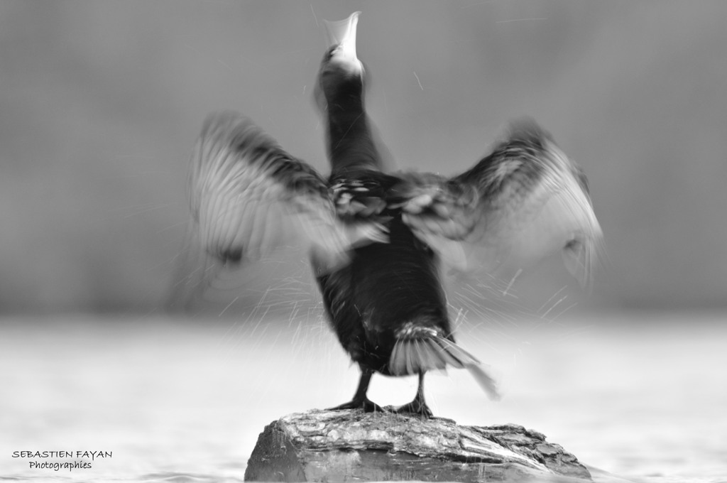 Grand cormoran - Sébastien Fayan
