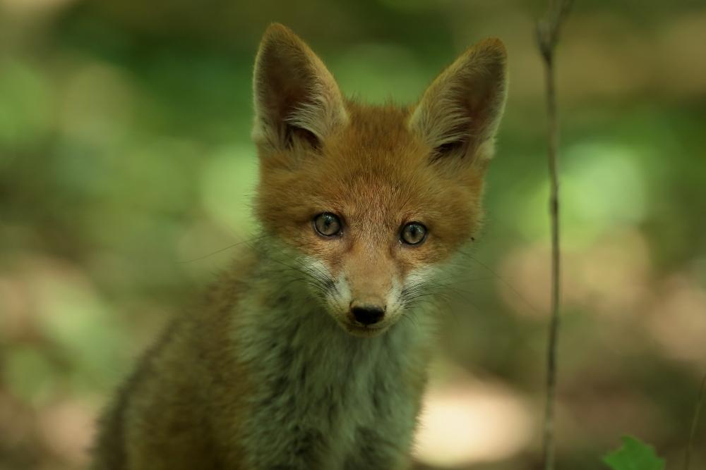 Renardeau (vulpes vulpes) -  Photo Jullien Ludovic