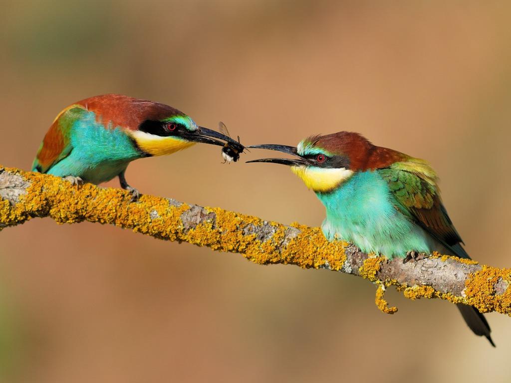 Guêpier d'Europe (Merops apiaster) - Frédéric Pinto
