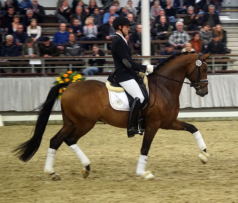 Lord Nunes bei der Hengstschau in Münster, Februar 2017