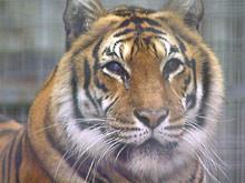 Ausgewachsener Tiger - Quelle Blinde Kuh