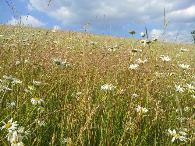 Eine der artenreichsten Flächen im Oberbergischen mit Zittergras (M. Gerhard)