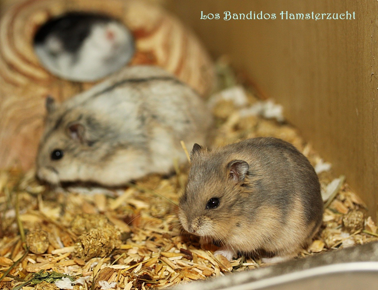 Der Campbell Hamster Goldhamsterzucht Los Bandidos