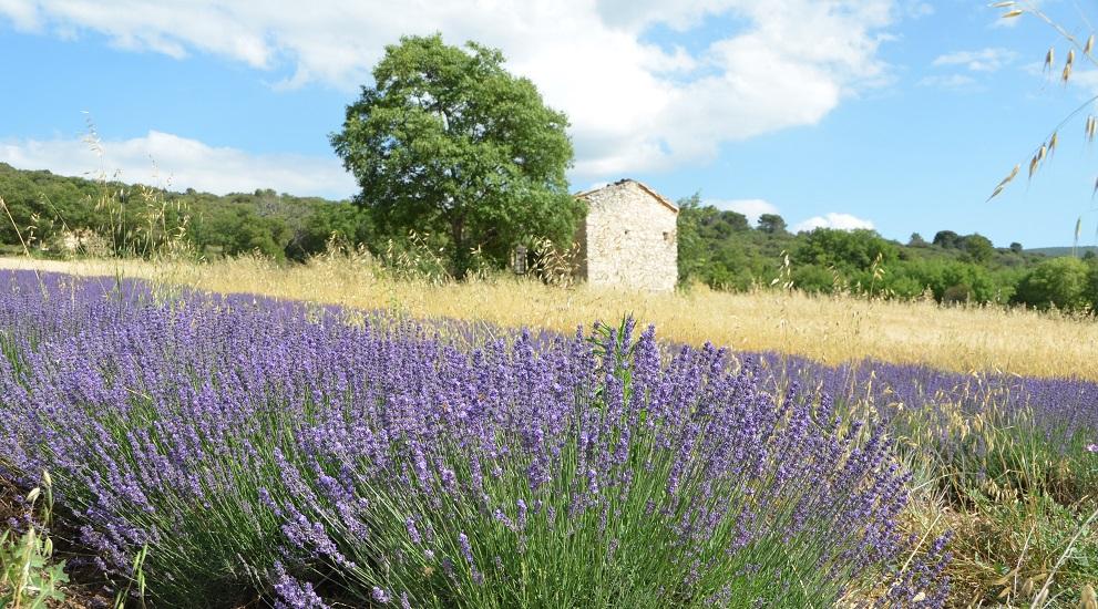 Lavendel am Radweg
