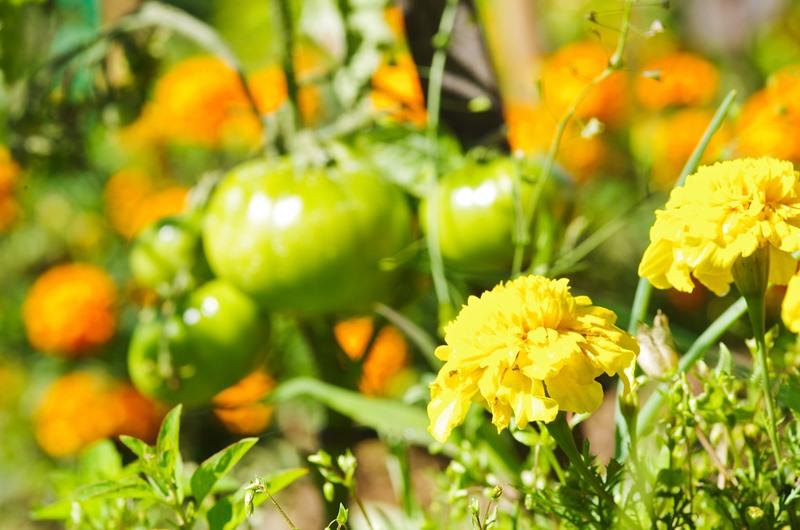 Tomates du Jardin du Moulin de Braimboeuf