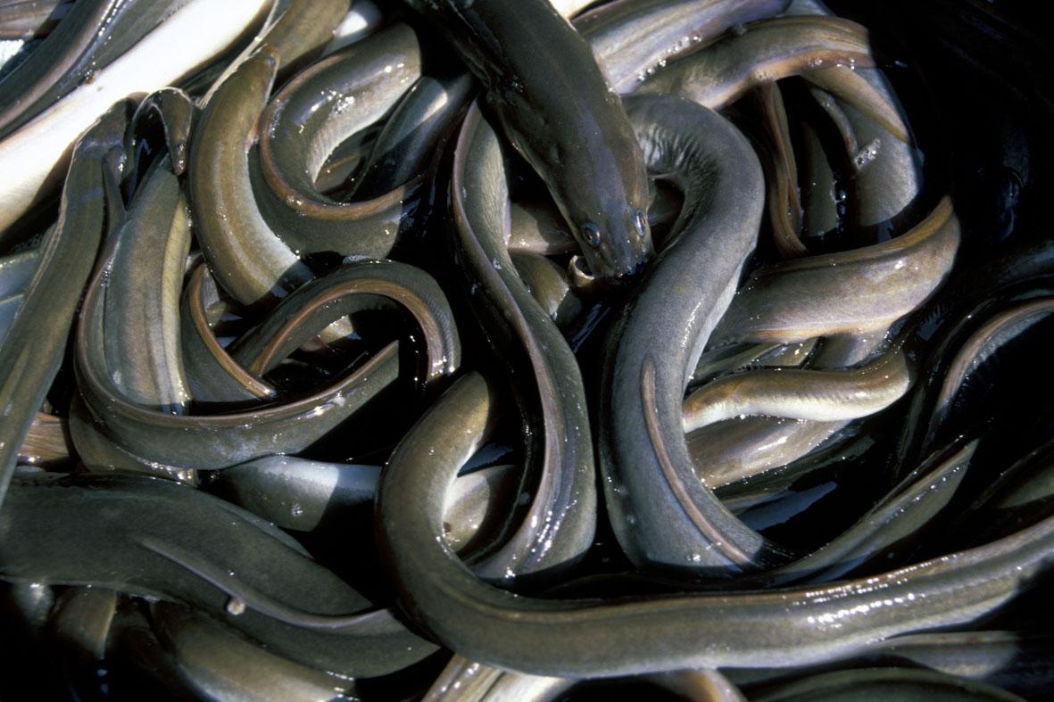 Anguilles, photo Dominique Drouet