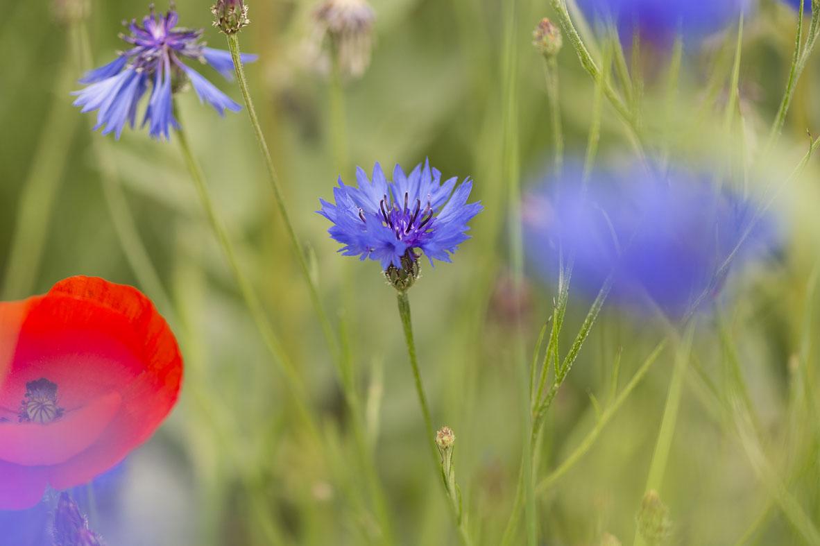 Bleuet sauvage sur les bords de l'Evre, photo Dominique Drouet