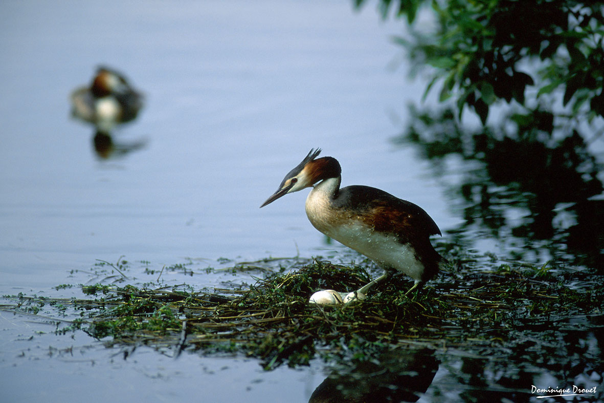 Grebe huppe sur les bords de l'Evre, photo Dominique Drouet