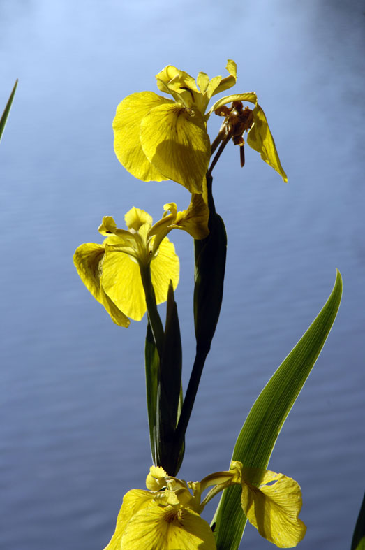 Iris d'Eau sur les bords de l'Evre, photo Dominique Drouet
