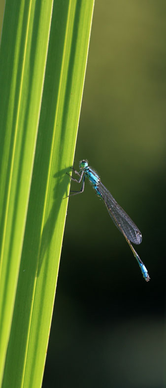 Demoiselle, photo Dominique Drouet
