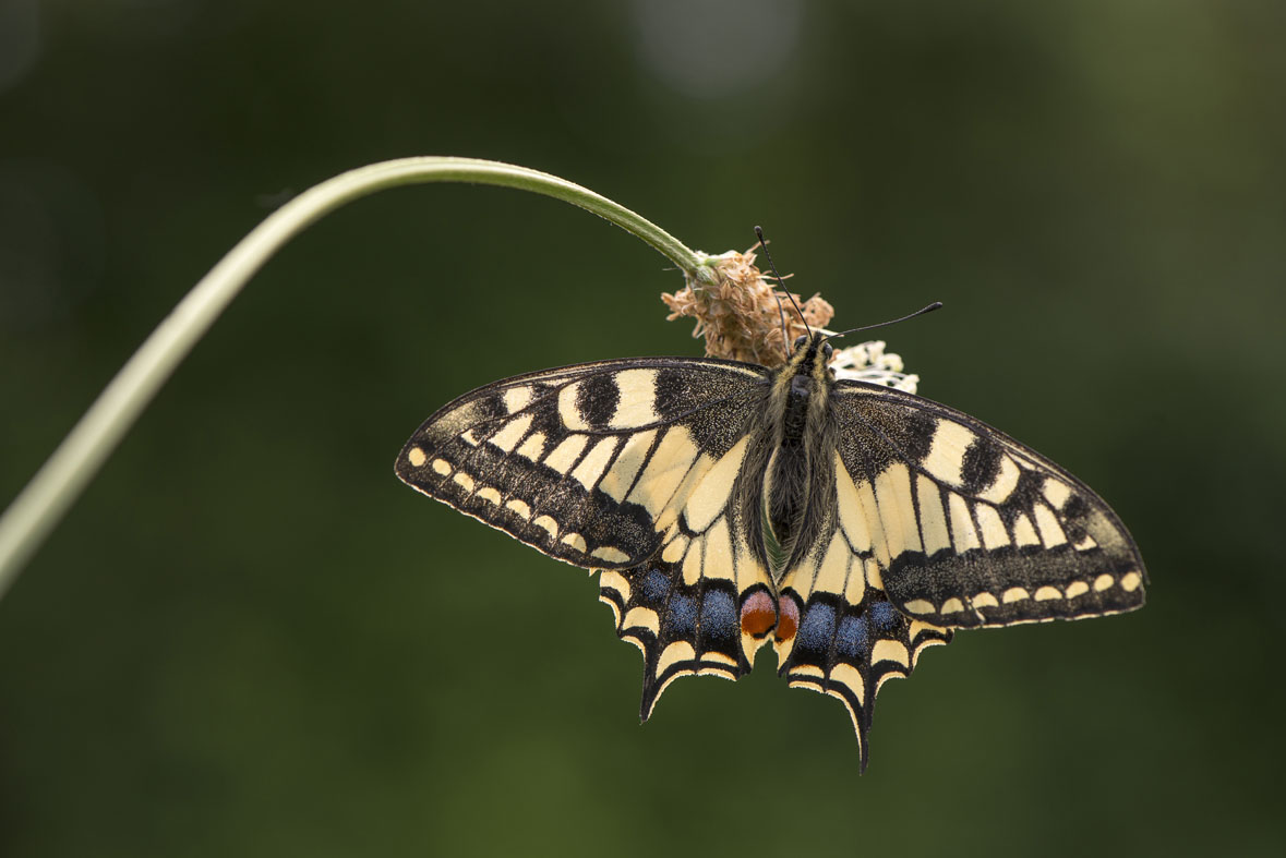 Machaon sur les bords de l'Evre, photo Dominique Drouet