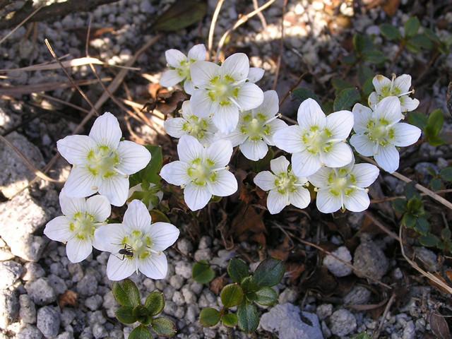 島内の花(ウメバチソウ2)