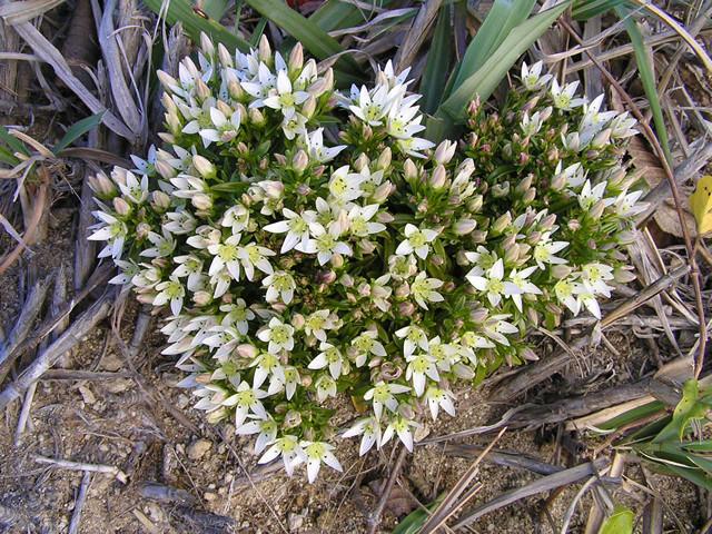 島内の花(センブリ)