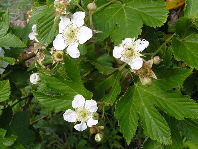 島内の花(カジイチゴ)