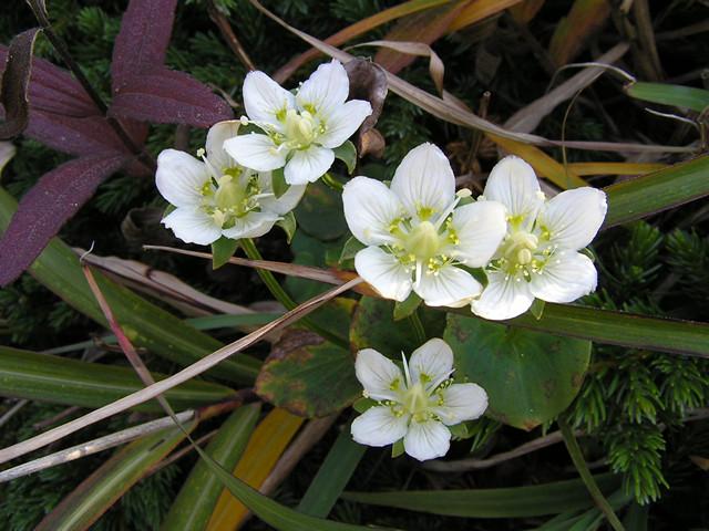 島内の花(ウメバチソウ)