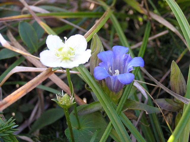 島内の花 (ウメバチトリンドウ)
