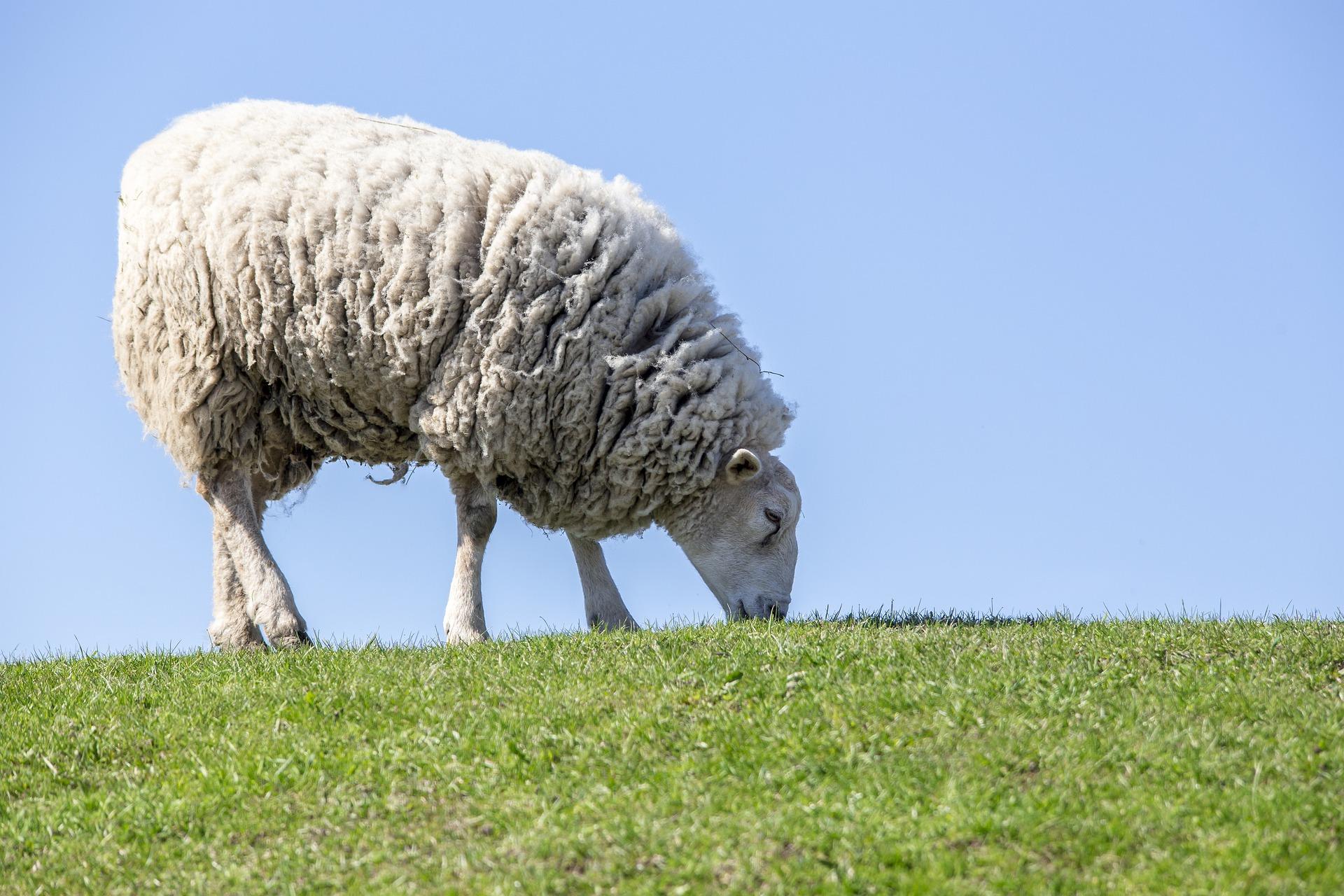 Récolte de laine