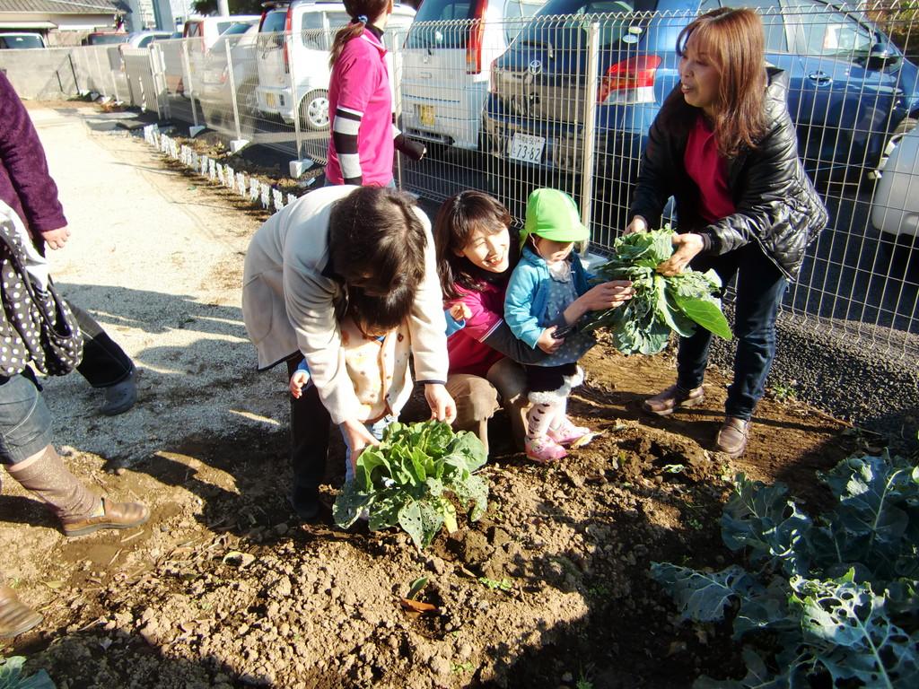 先生も手伝ってキャベツの収穫
