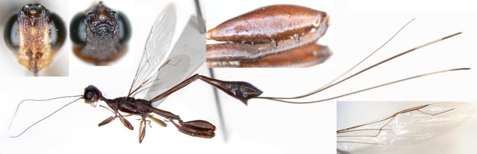 Foenatopus cinctus (Matsumura 1918) ケツノヤセバチ [det. Kyohei WATANABE]
