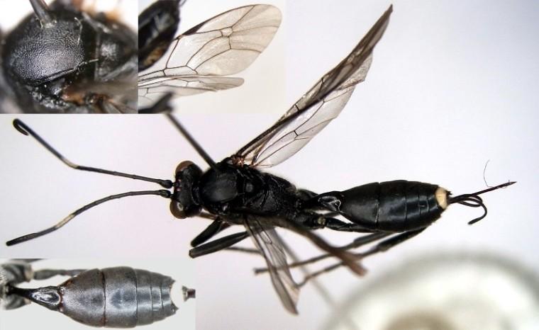 Paragambrus sapporonis (Uchida, 1930) イラガヤドリトガリヒメバチ  ♀ [Det. Kyohei WATANABE]