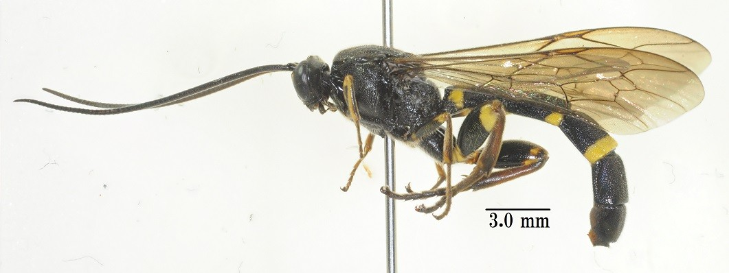 Metopius (Tylopius) arakawai Uchida, 1930 アラカワメンガタヒメバチ [det. So SHIMIZU]
