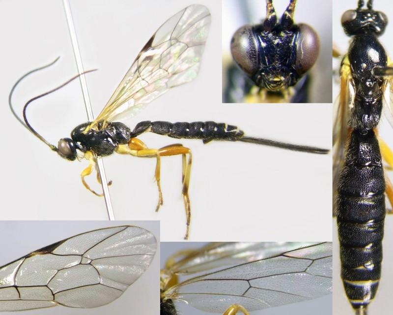 Gregopimpla ussuriensis Kasparyan & Khalaim, 2007 ウスタビガフシヒメバチ ♀ [det. Kyohei WATANABE]]