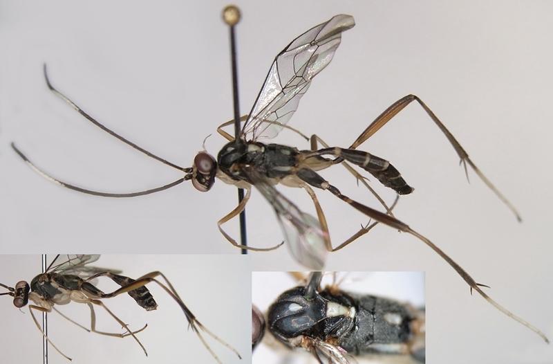 Picardiella tarsalis (Matsumura, 1912) コクロオナガトガリヒメバチ ♂ [det. Kyohei WATANABE]