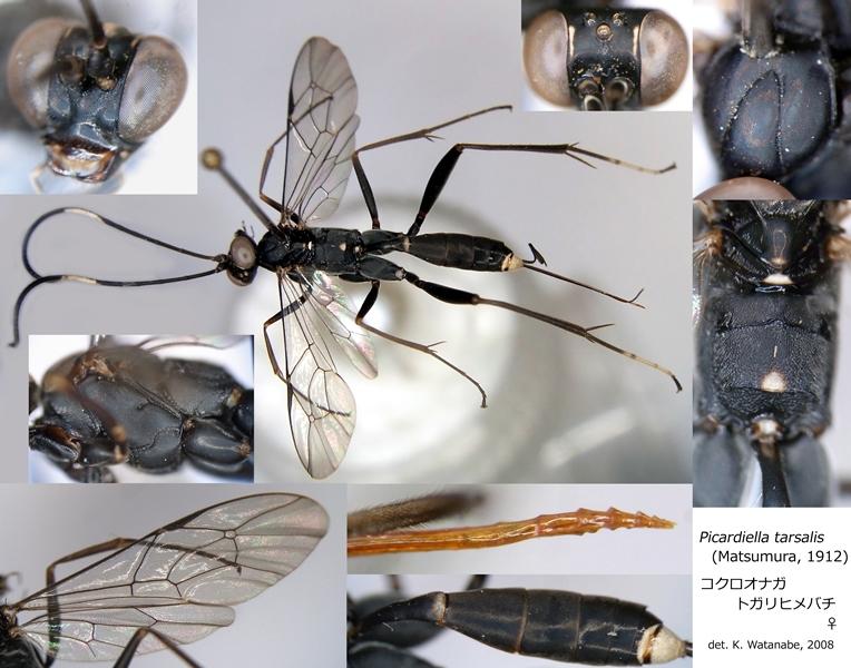 Picardiella tarsalis (Matsumura, 1912) コクロオナガトガリヒメバチ ♀ [det. Kyohei WATANABE]