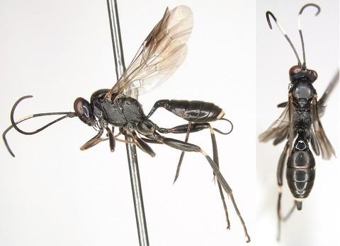 Agrothereutes lanceolatus (Walker, 1874) シロテントガリヒメバチ ♀ [det. Kyohei WATANABE]]