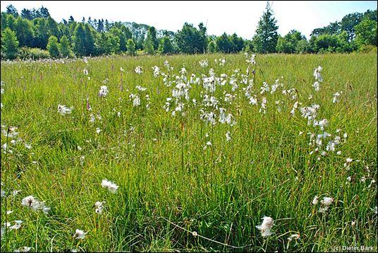 Wollgrasbestände im Naturschutzgebiet, Foto: Dieter Bark