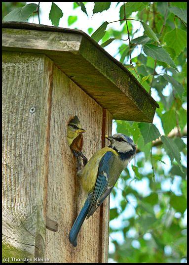 Blaumeise füttert Jungvogel