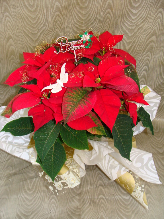 Poinsettia rouge en collerette