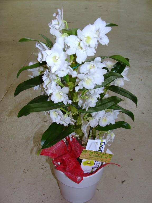 Dendrobium blanc dans un cache pot