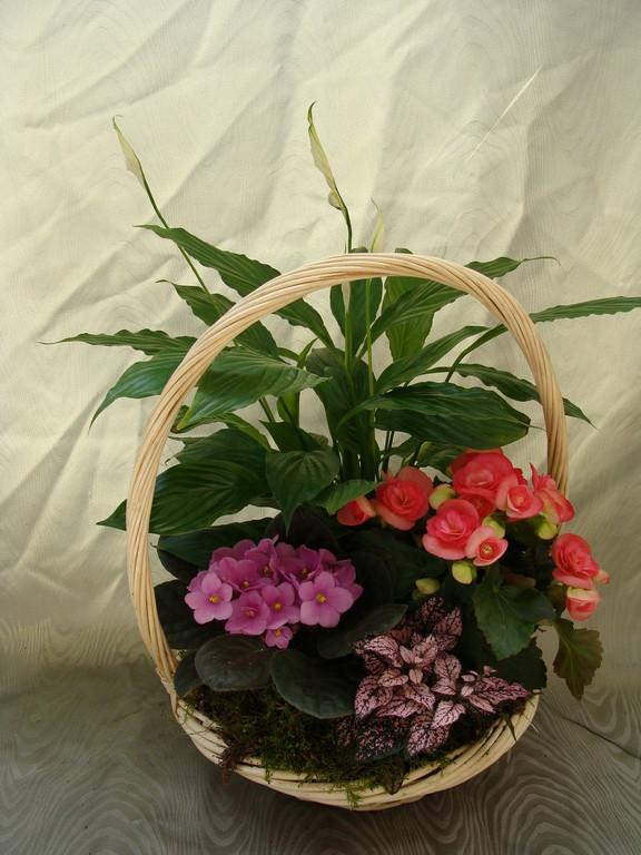 CPI-1: Spathiphyllum,bégonia,st paulia et hipoestes dans vannerie