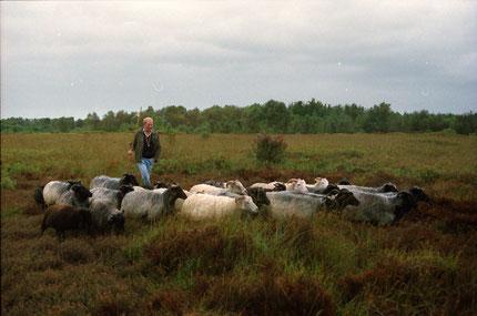 Vierbeinige Moorschützer mit ihrem Züchter, dem Landschftswart Helmut Peters, in Aktion