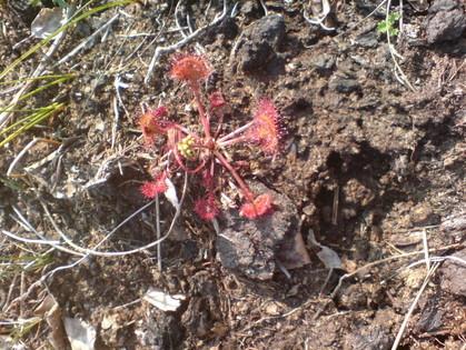 Rundblättriger Sonnentau (Drosera rotundifolia), eine fleischfressende Pflanze