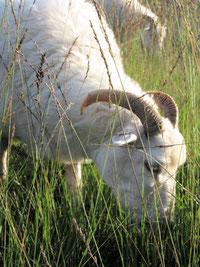 Weiße Gehörnte Heidschnucke, eine vom Aussterben bedroht Rasse