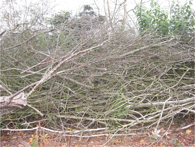 Diese Birken hätten ohne die Schülerhilfe dem Moor geschadet!!!